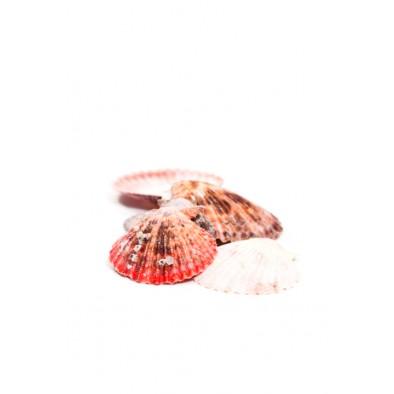 Dekorácia – mušle lastúry, C-44-45B